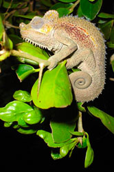 A Chameleon perched on a bush was photographed at night in Kenya