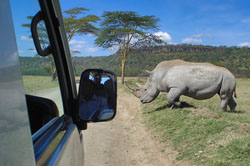 Jeep stops to let a Rhino cross the road in the Nakuru Game Park in Kenya