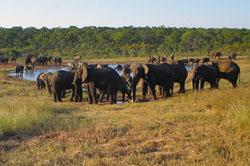African elephants gather around a water hole in Zimbabwe