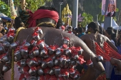 Thaipusam pilgrim with tiny jugs of milk hooked to his back