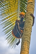 caption: Old man climbing a coconut palm tree.