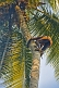Image of Old man climbing a coconut palm tree.