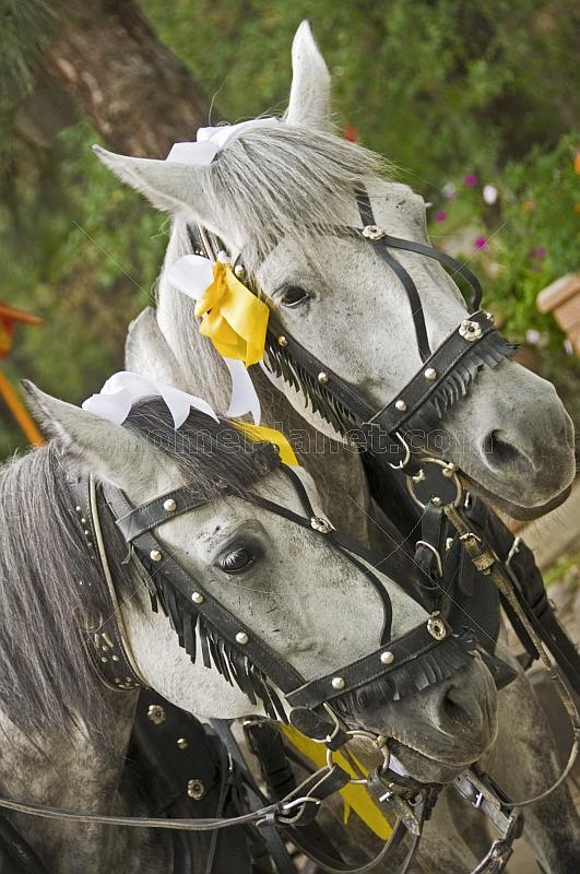 Two grey carriage horses near the Zenkov Cathedral.