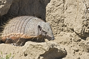 Nine-banded Armadillo closeup on the Valdes Peninsula.