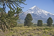 Wild Monkey-puzzle Trees (Araucaria araucana) in front of the Lanin Volcano.