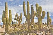 A stand of giant cacti at the Pucara Walled City Ruins.
