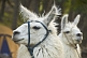 Image of Trekking with llamas in the Parque Nacional Los Glaciares.