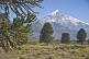 Image of Wild Monkey-puzzle Trees (Araucaria araucana) in front of the Lanin Volcano.