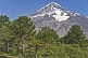 Image of Forest of Monkey-puzzle Trees (Araucaria araucana) in front of the Lanin Volcano.
