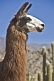 Image of Llama head closeup with cacti background.