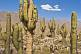 Image of A stand of giant cacti at the Pucara Walled City Ruins.