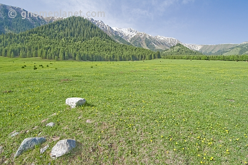 Flower-filled meadows of the Sarycat Ertas Nature Reserve lead through thick pine forests to the snow-capped Mountains of Altyn Arashan.