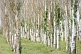 Image of Three lines of Poplar trees near the Ala-Archa Canyon, south of Bishkek.