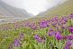 Image of Purple flower-filled meadows border the Ala-Archa River and the Alatau Mountain Valley.