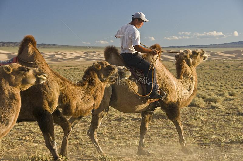 A Mongol camel-driver leads his herd of Bactrian Camels back to their rest and evening meal .