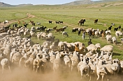 Sheep grazing on the Mongolian Plains are brought under control by their shepherds.