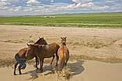 Three horses stand in a stream near to an encampment of yurts on the Mongolian grassland.