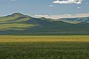 caption: Cattle grazing on the wide Mongolian plains.