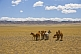 Image of A herd of horses grazing on the arid Mongolian plains.