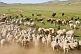 Image of Sheep grazing on the Mongolian Plains are brought under control by their shepherds.