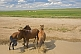 Image of Three horses stand in a stream near to an encampment of yurts on the Mongolian grassland.