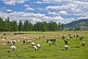 Image of Sheep, goats, and cattle grazing in a forested river valley.
