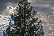 Pine trees and storm clouds.