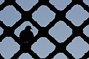Pigeon provides a silhouette on the Jali-screen of a madrassa.