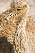 Closeup of emu head on the Isla Pescado in the Uyuni Salt Flats.