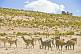 Grazing herd of llamas on barren rocky hillside.