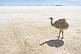 Emu walking on the Uyuni Salt Flats at Isla Pescado.
