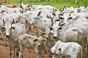A herd of Zebu or Humped Cattle (Bos primigenius indicus or Bos indicus).