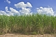 Sugar cane growing on sandy soil under blue sky with clouds.