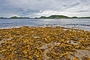 Yellow and brown seaweed on the beach overlooking rocky islands at Sandbanks Provincial Park.