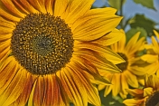 Closeup of a yellow sunflower in strong sunlight with other sunflowers in background.