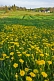 Image of Field of yellow dandelions brightens the rural countryside.