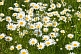 Image of A field of white and yellow Ox-Eye Daisies (Chrysanthemum Leucanthemum).