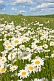 Image of A field of white and yellow Ox-Eye Daisies (Chrysanthemum Leucanthemum) under blue sky and white clouds.