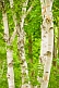 Image of Birch tree trunks and foliage in Central Park.