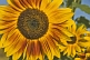 Image of Closeup of a yellow sunflower in strong sunlight with other sunflowers in background.