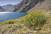 Yellow flowers at the Laguna del Inca.