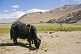 Image of Yaks grazing next to Karakul Lake, near the Karakoram Highway between Kashgar and Tashkurgan.