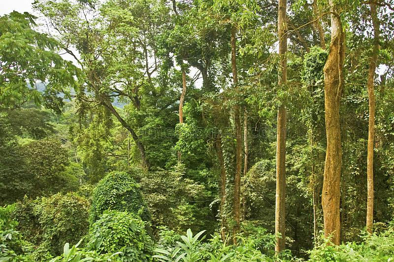 Densely packed trees and other undergrowth in a typical Congolese jungle.