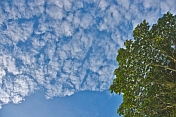 High clouds and a blue sky contrast the dark leaves of the African Corkwood tree (Musanga cecrpioides).