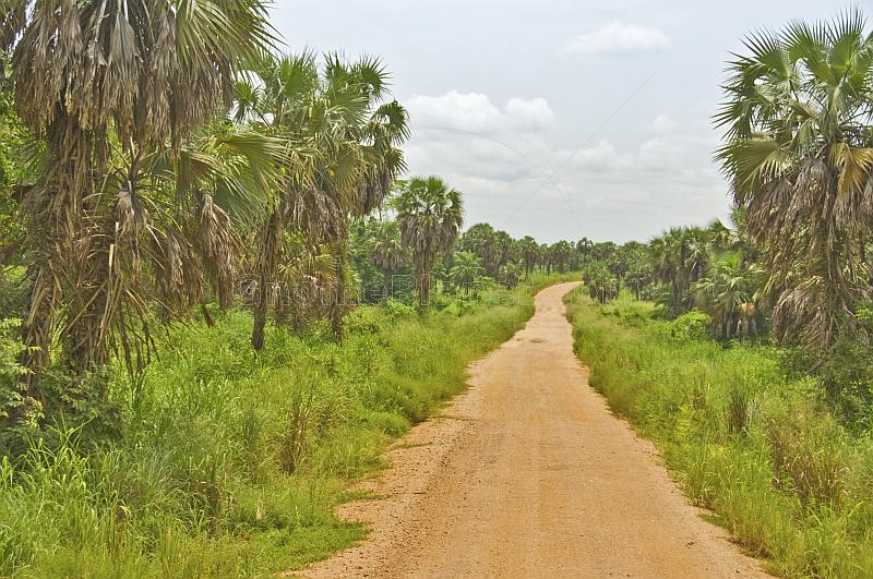 A graded sandy road passes through a plantation of Palmyra palms (Borassus aethiopum).
