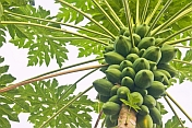 Fruit and leaves of the Papaya plant - Carica papaya.