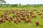 A herd of brown cattle grazing in a field of long grass.