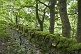 Image of Moss-covered dry stone wall in sycamore (Acer pseudoplatanus) forest.