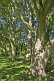 Image of Sycamore (Acer pseudoplatanus) trees in dappled shade in Ilkley Park (or Riverside Gardens).