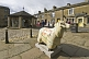 Image of Flock to Skipton sheep scultpure with map decoration on Victoria Court.